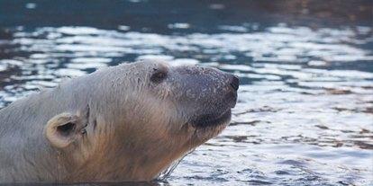 A Bear in a Beach, bears forbidden in Israel beach, Polar bears, endangered polar bear, polar bear in water, cute animals
