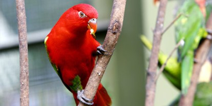 Pet Lovebird, cute Pet Lovebird, alone and lonely lovebird, red strong love bird on a branch