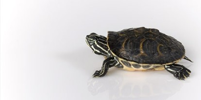 Pet turtle, cute Pet turtle in hands, small Pet turtle, turtle escaped, white