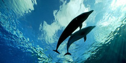 Calm dolphins underwater, two dolphins playing, big and small fish dolphin, mammal in water, peaceful swimming dolphin